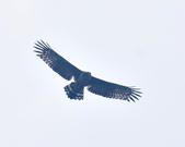大冠鷲 Crested Serpent Eagle :DSC_1875.JPG