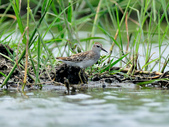 雲雀鷸Long-toed stint  :DSC_2276.JPG