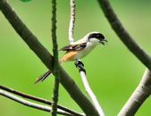 棕背伯勞 Black-headed Shrike   :DSC_3298.JPG