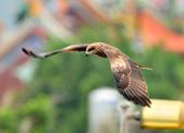 老鷹   Black kite   :DSC_6705.JPG