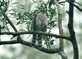 北雀鷹  Northern Sparrow Hawk :DSC_1468.JPG