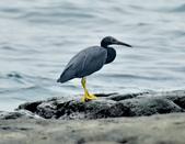 岩鷺  Pacific Reef Egret    :DSC_2086.JPG