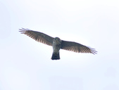 日本松雀鷹Japanese Lesser Sparrow Hawk :DSC_9179.JPG