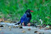 台灣藍鵲  Taiwan Blue Magpie :DSC_2330.JPG