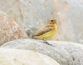 金鵐 Yellow-breasted Bunting  :DSC_7178.JPG