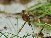 金翅雀  Oriental Greenfinch :DSC_0538.JPG
