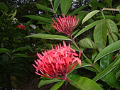 植物寫真:矮旭仙丹.JPG
