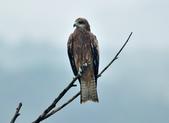 老鷹   Black kite :DSC_1409.JPG