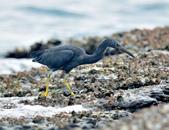 岩鷺  Pacific Reef Egret    :DSC_2091.JPG