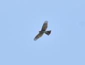 北雀鷹  Northern Sparrow Hawk  :DSC_6154.JPG