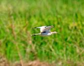 水雉Pheasant-tailed Jacana :DSC_8930.JPG