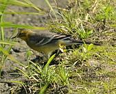 黃頭鶺鴒〈雌〉:DSC_9876.JPG