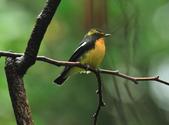 黃眉黃鶲Narcissus Flycatcher :DSC_0622.JPG