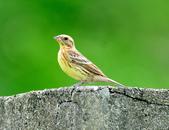 金鵐 Yellow-breasted Bunting  :DSC_6396.JPG