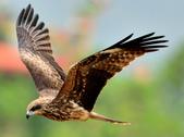 老鷹   Black kite   :DSC_6704.JPG