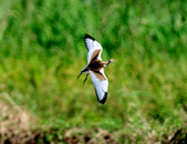 水雉Pheasant-tailed Jacana :DSC_8935.JPG