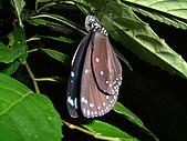 動物寫真:圓翅紫斑蝶.JPG