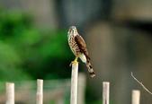 松雀鷹Besra sparrow hawk :DSC_2048.JPG