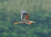 紫鷺     Purple Heron:DSC_0936.JPG