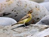 金鵐 Yellow-breasted Bunting  :DSC_6787.JPG