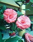 植物寫真:茶花.JPG