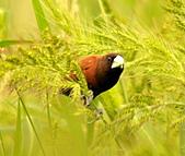 黑頭文鳥:DSC_5226.JPG
