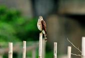 松雀鷹Besra sparrow hawk :DSC_2060.JPG