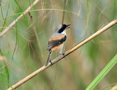 棕背伯勞 Black-headed Shrike  :DSC_2112.JPG