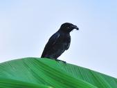 大卷尾Black Drongo  :DSC_3213.JPG