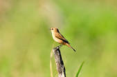 黑喉鴝Common Stonechat  :DSC_9415.JPG