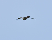 日本松雀鷹Japanese Lesser Sparrow Hawk  :DSC_6097.JPG