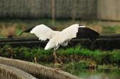 白鶴  Siberian Crane :DSC_0053.JPG