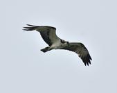 魚鷹 Osprey      :DSC_0449.JPG