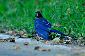 台灣藍鵲  Taiwan Blue Magpie :DSC_2317.JPG