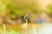 翠鳥  Common Kingfisher       :DSC_6009.JPG