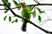 五色鳥  Muller's Barbet   :DSC_3674.JPG