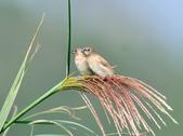 斑文鳥 Nutmeg Mannikin :DSC_6031.JPG