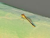 蜻蜓:DSC_8658.JPG