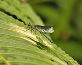 蜻蜓:DSC_8908.JPG