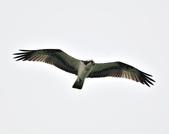 魚鷹 Osprey      :DSC_0273.JPG