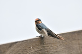 洋燕  Pacific Swallow   :DSC_7112.JPG