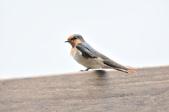 洋燕  Pacific Swallow   :DSC_7104.JPG