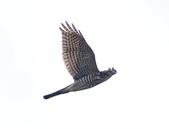 日本松雀鷹Japanese Lesser Sparrow Hawk :DSC_9165.JPG