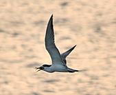 鳳頭燕鷗:DSC_7181.JPG