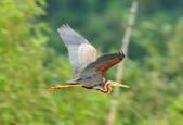 紫鷺     Purple Heron:DSC_0928.JPG