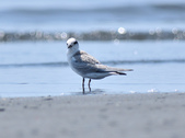 小燕鷗  Little Tern  :DSC_4331.JPG