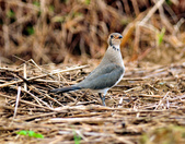 燕鴴 Large Indian Pratincole :DSC_2577.JPG