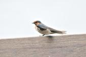 洋燕  Pacific Swallow   :DSC_7094.JPG