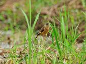 金翅雀  Oriental Greenfinch :DSC_0477.JPG