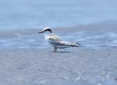小燕鷗  Little Tern  :DSC_4345.JPG